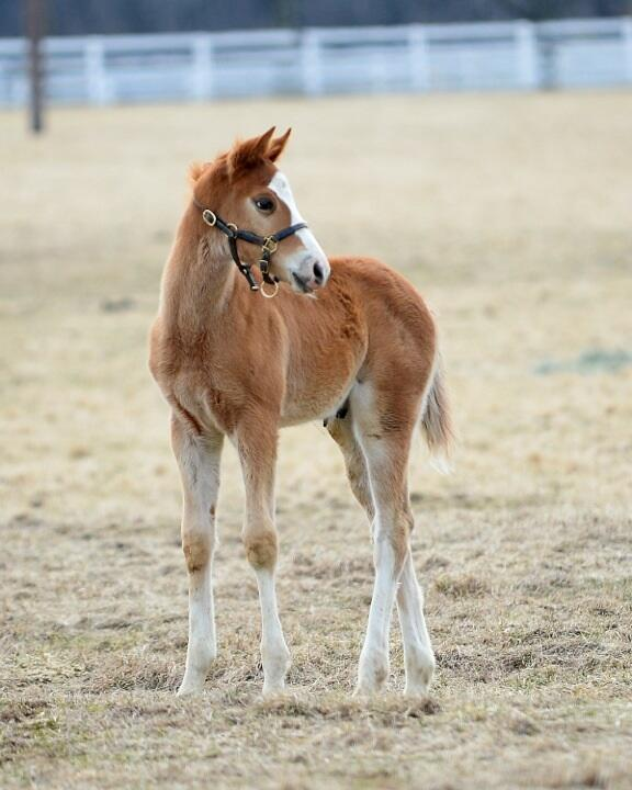 Americain California Sunset Filly